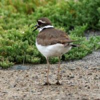Killdeer, Lagoon Trail, Del Mar, California