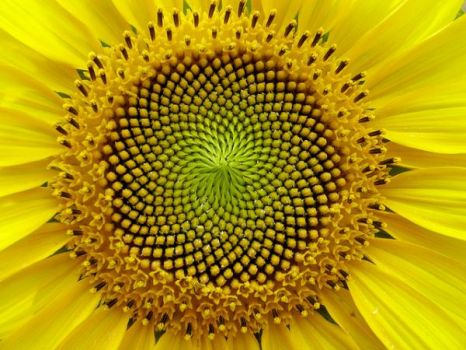 The sunflower shows the the Fibonacci Series perfectly