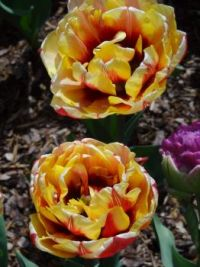 Tulips_4