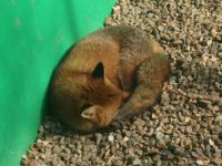 Sleepy fox!