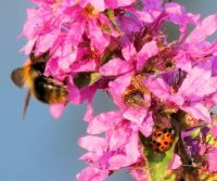 loosestrife with three visitors (kattenstaart)
