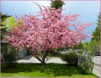 My crab apple tree was magnificent this year.  Easy