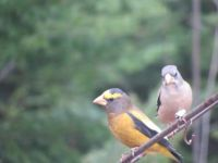 A Pair of Evening Grosbeaks