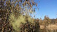 Pollen of the hazelnut bushes