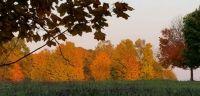 Bank of orange trees
