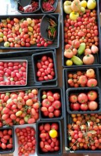 Main harvest of tomatoes & hot peppers - Sept 2021