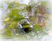YES, THE BULLFROGS ARE BACK AT THE MARSH