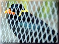 Common hill Mynah in a Cage for Jo (Jacki2)