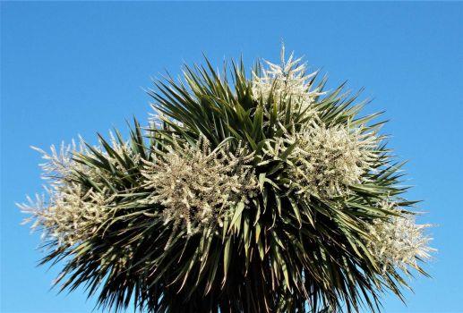 Cabbage Palm blossom