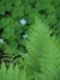 Fern and oxalis