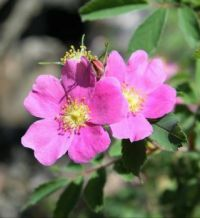 North Dakota State Flower  ~  Wild Prairie Rose