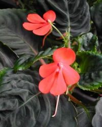 IMPATIENS CINNABARINA...FOR ROBRYAN...