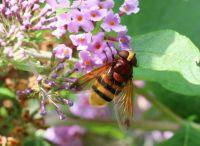 Hornet Hoverfly - Volucella zonaria (stadsreus)