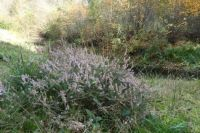 The time for blooming heather is long gone, but near the small pond in Winterswijk I saw one small bush, still blooming!!!