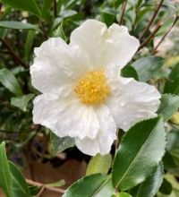 Camellia Blooming in January! :-))
