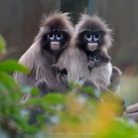 Phayre's Leaf Monkeys