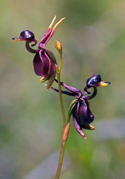 Orchids-Flying Duck