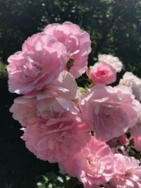 Pink roses. My sisters garden Photo 2