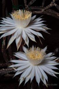 """Night-blooming cereus"""