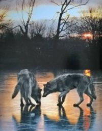 two wolves on ice