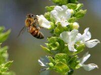 Sběratelka pylu v době snůšky pylu vyletí 4 – 6 krát pro pyl a nasbírá pár rousek za 20 – 80 minut.