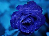 blue-rose-macro-wallpaper-preview
