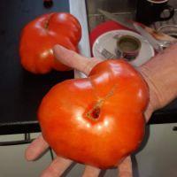 holy moly tomato