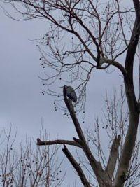 Great Blue Heron in tree in backyard