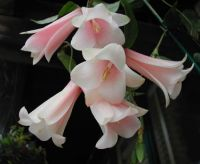 LAPAGERIA_ROSEA...ALSO KNOWN AS...CHILEAN BELL FLOWER...