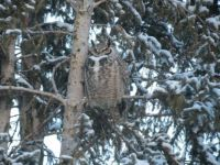 19 01 21 Owl in Back Yard