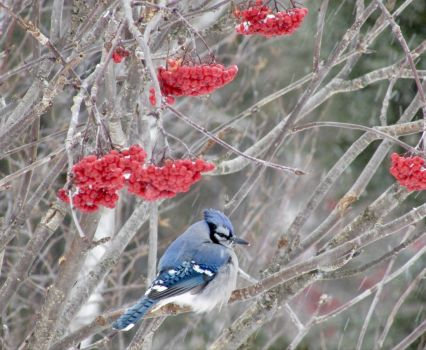 Bluejay, Berries & Snow