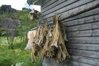 Drying fish, Mageroy Island, Northern Norway