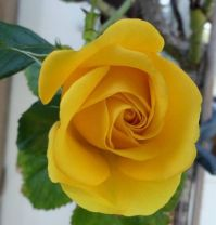 my yellow rose, opening up
