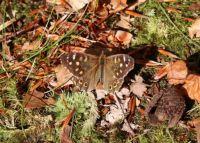 Speckled wood - Pararge aegeria (bont zandoogje)