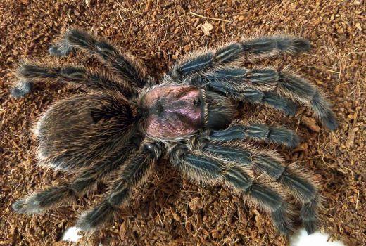 Chilean Rose-hair tarantula