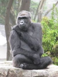 Zoo #6--another gorilla pose