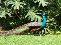 PV Peacock