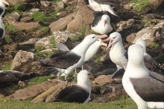 Nesting Black-browed Albatross, the Falklands
