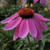 Echinacea 'Powwow Razzleberry'