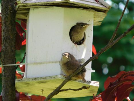 Wrens getting ready to fledge from its nest.
