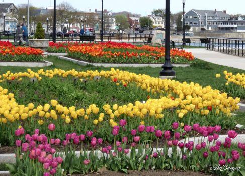 Gloucester Tulip Garden_6863