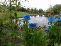 mecanopsis in a garden in inverness