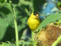 Finch enjoying a sunflower