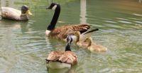 . goose family on a Missouri pond