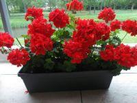 rode geranium