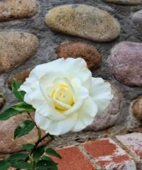 White Rose on Rocks