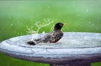 Robins love a bird bath