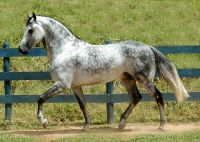 Mangalarga Marchador, gray dapple
