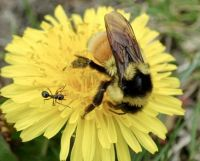 Tri-coloured Bee & Ant on a Dandelion