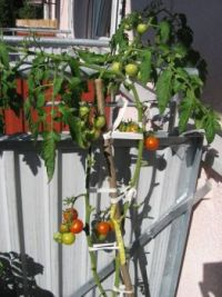 rajské jablíka - balkonová variace